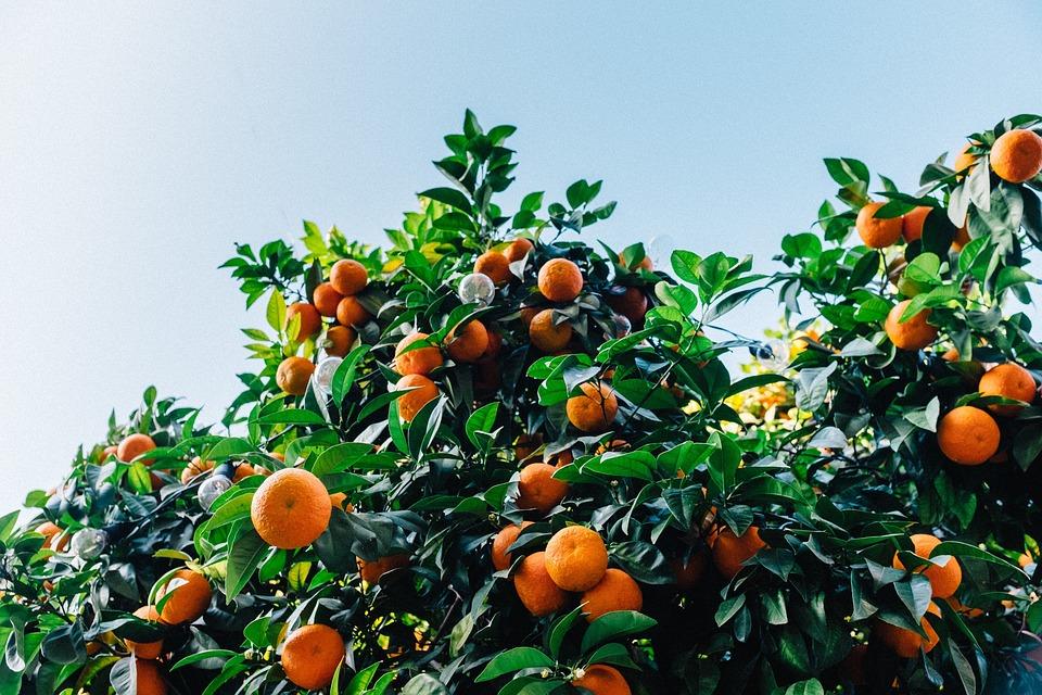 Otvoreno je podnošenje Zahtjeva za nacionalnu potporu male vrijednosti namijenjenu proizvođačima mandarina