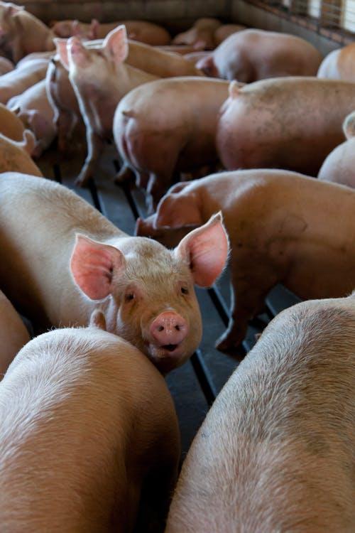 Strategija svinjogojstva – HPK i Svjetska banka Vas pozivaju na radionicu